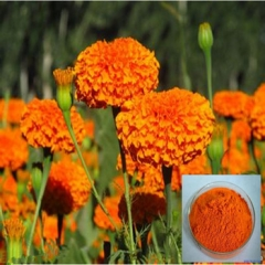 Buy Marigold Oleoresin